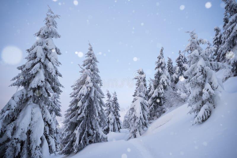 Övervintra väder med snöfall i den prydliga skogen fotografering för bildbyråer