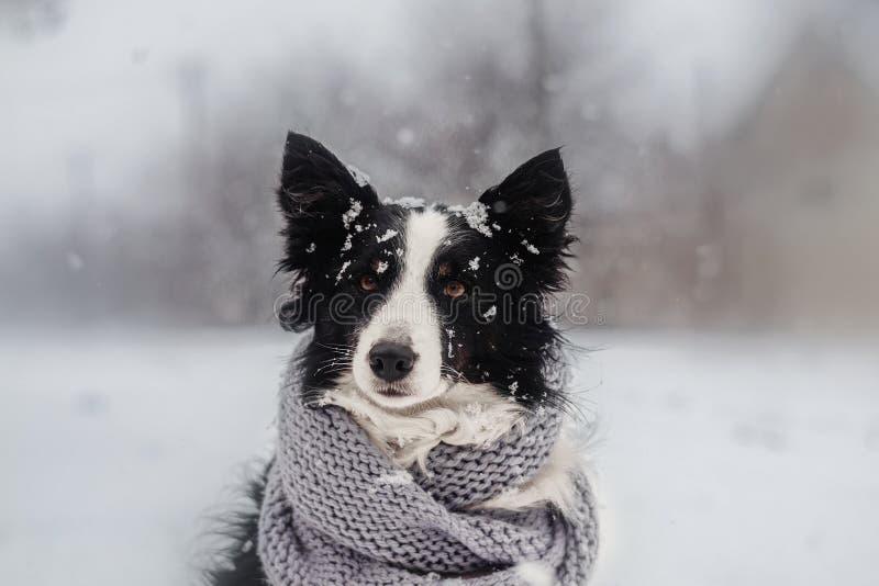 övervintra valpsagaståenden av en border collie hund i snö royaltyfria bilder