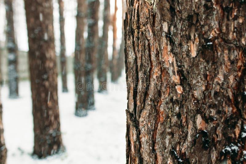 övervintrar trees för snow för sky för lies för frost för mörk dag för bluefilialer Skället av trädet under en skog av träd, i sn royaltyfri fotografi