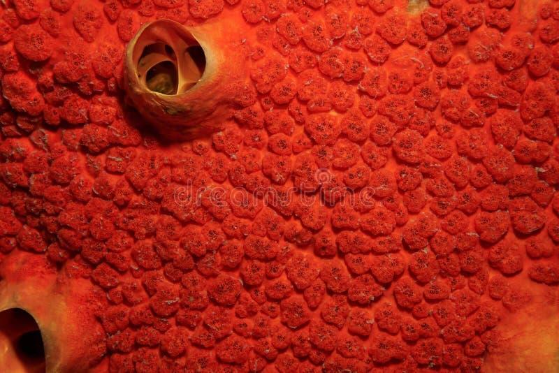 Övre bild för rött slut för borrningsvampCliona delitrix royaltyfri bild