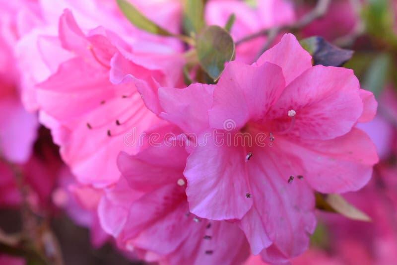 Övre blomma för slut av den rosa azalean royaltyfri fotografi