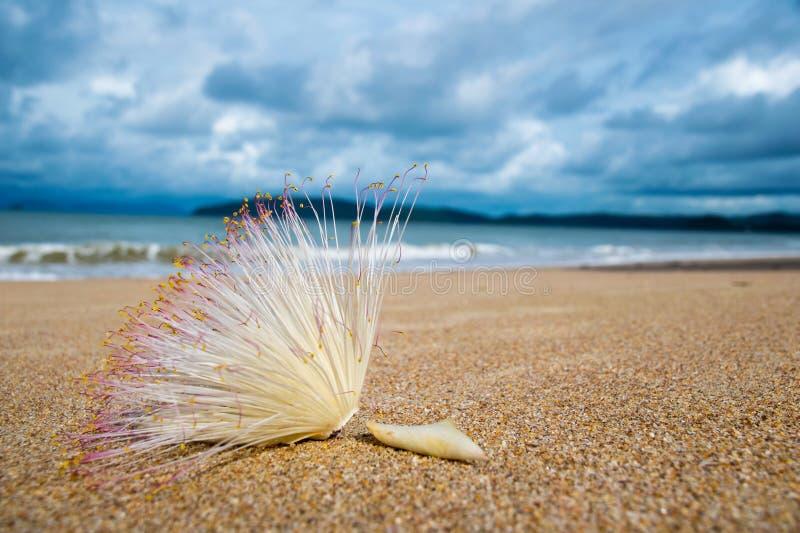 Övre blomma för slut av fiskgiftträdet på sandstranden arkivfoto