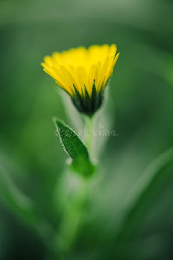 Övre gula tusensköna- och gräsplansidor för slut fotografering för bildbyråer