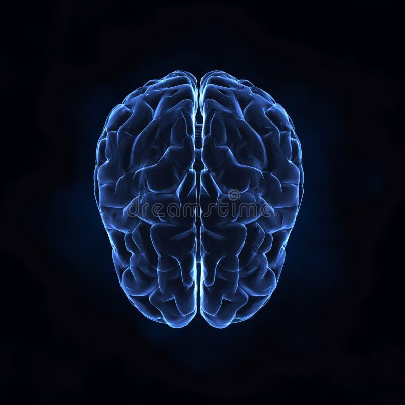 Övre sikt av den mänskliga hjärnan arkivbilder