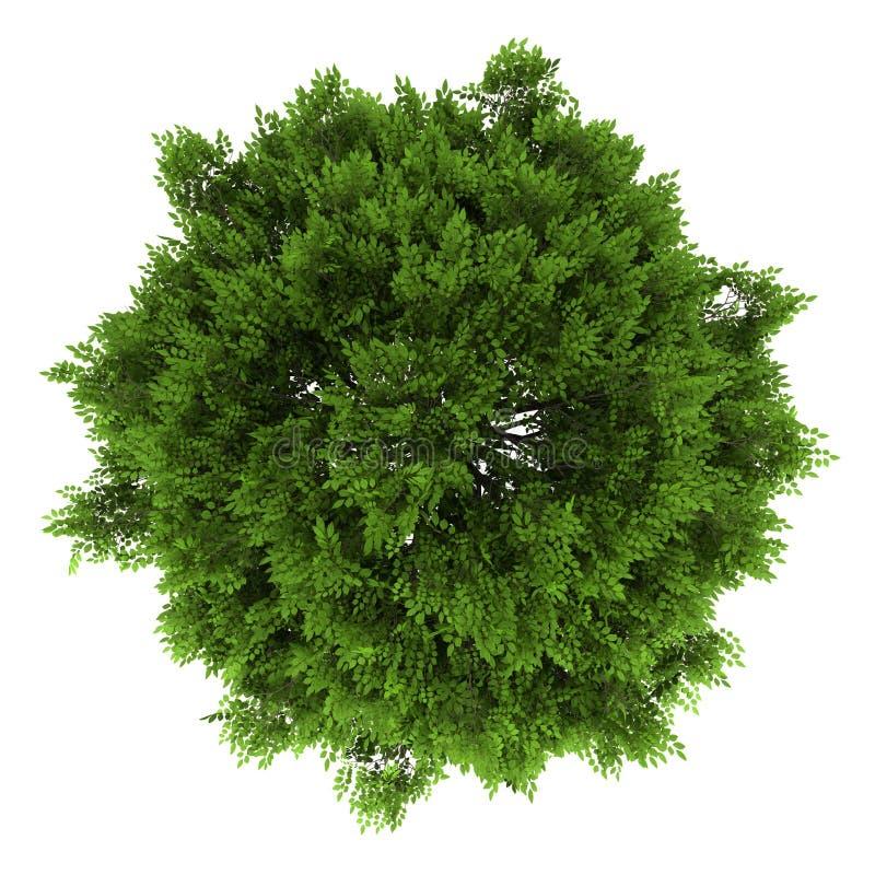 Övre sikt av treen för europeisk aska som isoleras på white vektor illustrationer