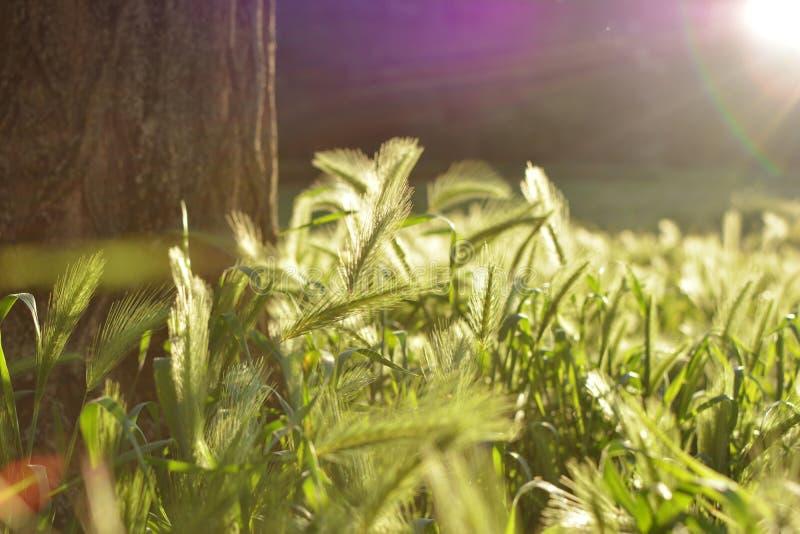 ÖVRE SIKT FÖR HÄRLIGT SLUT AV GROV SPIKFÄLTET PÅ SOLNEDGÅNGEN arkivbild