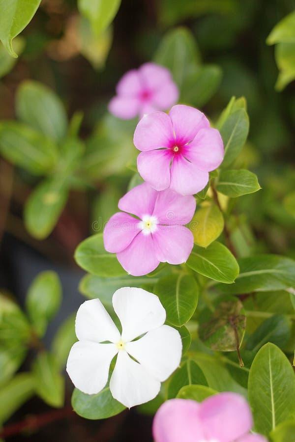 Övre sikt för slut av den purpurfärgade Catharanthusroseusblomman arkivfoto