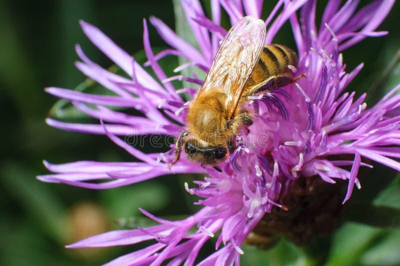 Övre sikt för slut av en pollen Laden Honey Bee Foraging på ett violett D royaltyfri fotografi