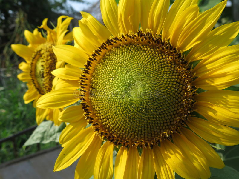 Övre sikt för slut av solblomman royaltyfri foto