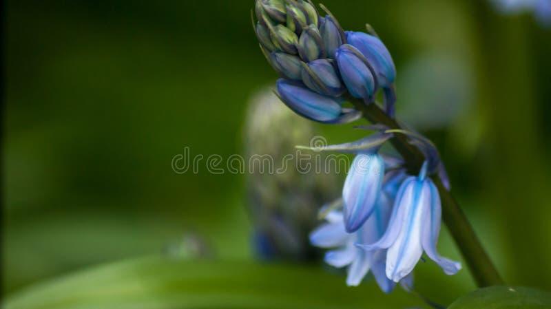 Övre sikt för slut av vårblåklockablommor royaltyfria bilder
