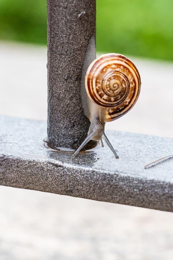 Övre sikt för vertikalt slut av en gullig trädgårds- snigel som kommer långsamt ut ur dess skal Älskvärt brunt, fibonacci, spiral fotografering för bildbyråer