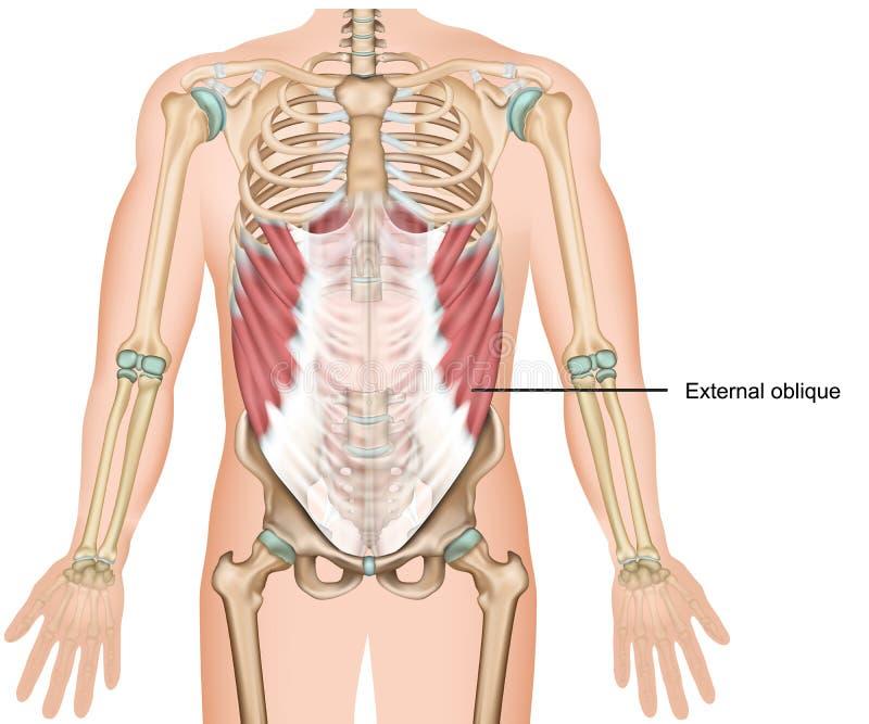 Övrebuk- muskel för yttre sned illustration för muskel 3d medicinsk vektor illustrationer