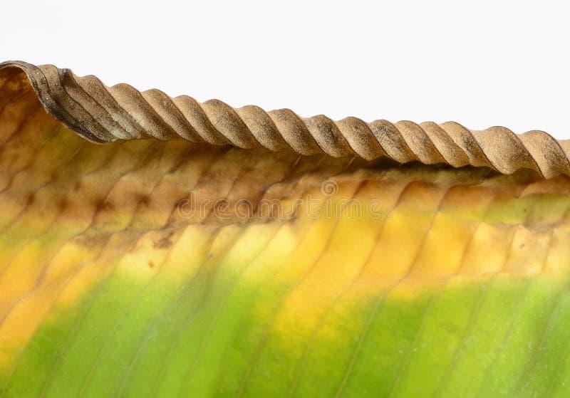 ِDiseased leaf. Diseased leaf of calathea zebrine leaf stock photo