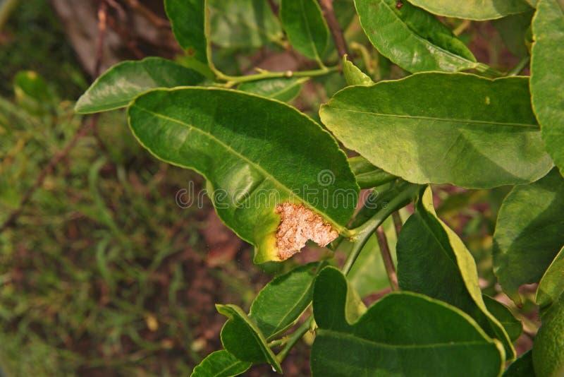 Úlcera do citrino das bactérias fotografia de stock