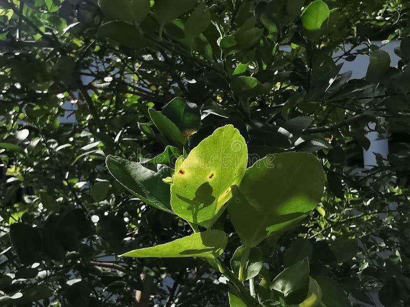 Úlcera do citrino em causas do citrino pelas bactérias imagens de stock royalty free