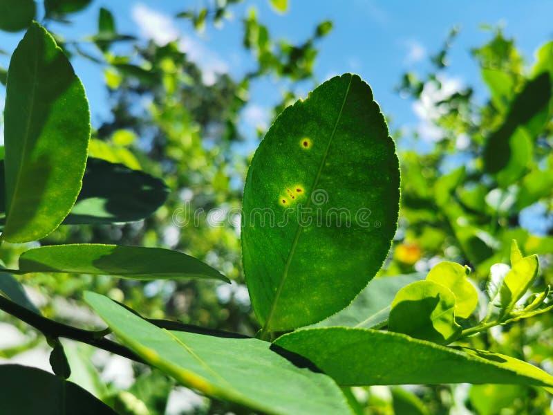 Úlcera do citrino em causas do citrino pelas bactérias foto de stock royalty free