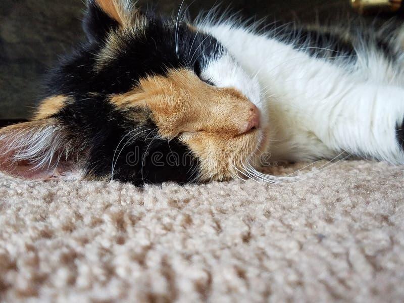 Última Cat Nap Kitty Sleeping en la alfombra imagenes de archivo