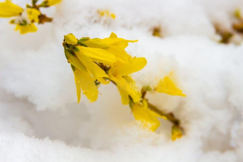Última nieve en forsythia amarilla floreciente fotos de archivo