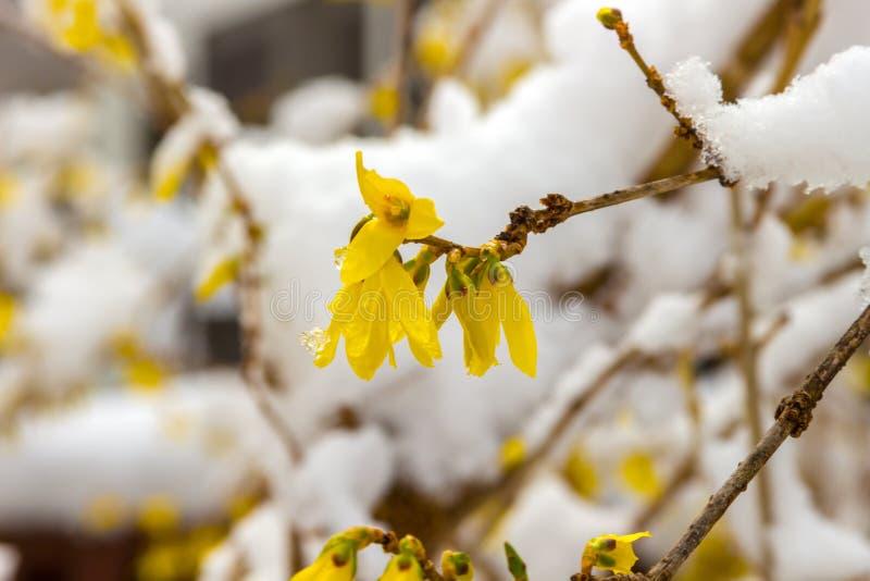Última nieve en forsythia amarilla floreciente imagenes de archivo