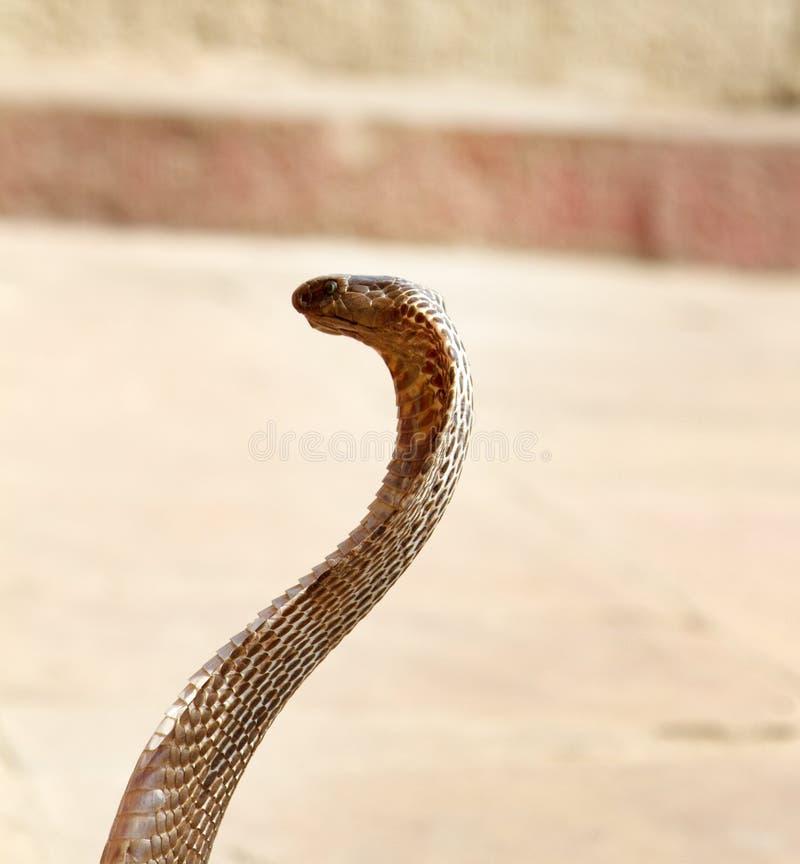 Último encantador de serpente (Bede) de Benares imagem de stock