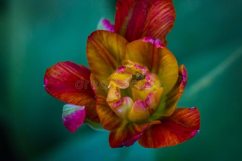 Último Terry Tulip, pión del tulipán imagen de archivo libre de regalías