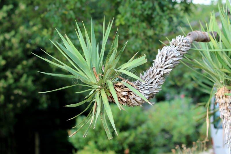 Única árvore constante da mandioca com as folhas parcialmente secadas que crescem lateralmente no jardim local cercado com outras fotografia de stock