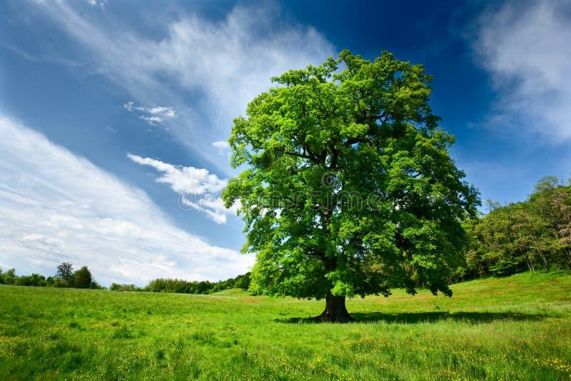 Única árvore de carvalho imagem de stock