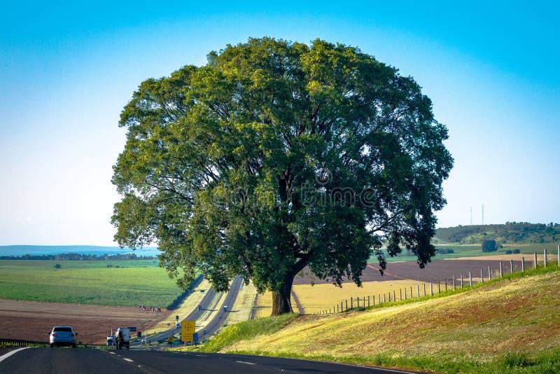 Única árvore de carvalho fotos de stock royalty free