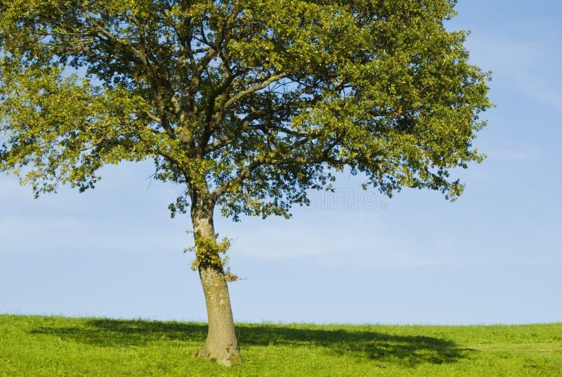 Única árvore de carvalho nova imagens de stock royalty free