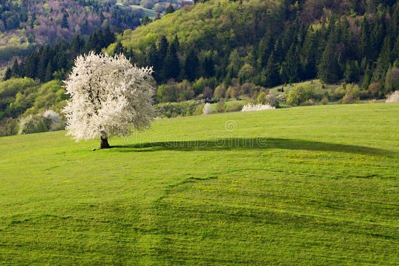 Única árvore de cereja da mola imagem de stock royalty free