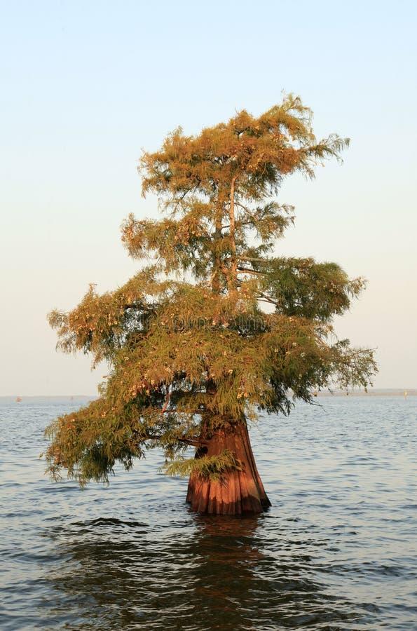Única árvore de Cypress calvo que cresce em um lago raso fotos de stock royalty free