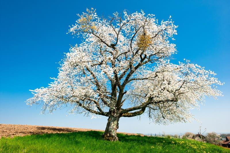 Única árvore de florescência na mola imagens de stock