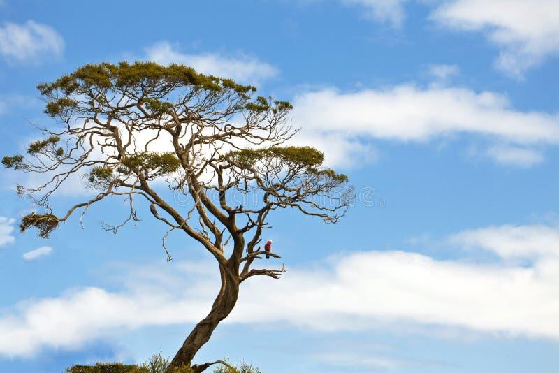 A única árvore de goma com galah empoleirou-se em um ramo fotos de stock royalty free