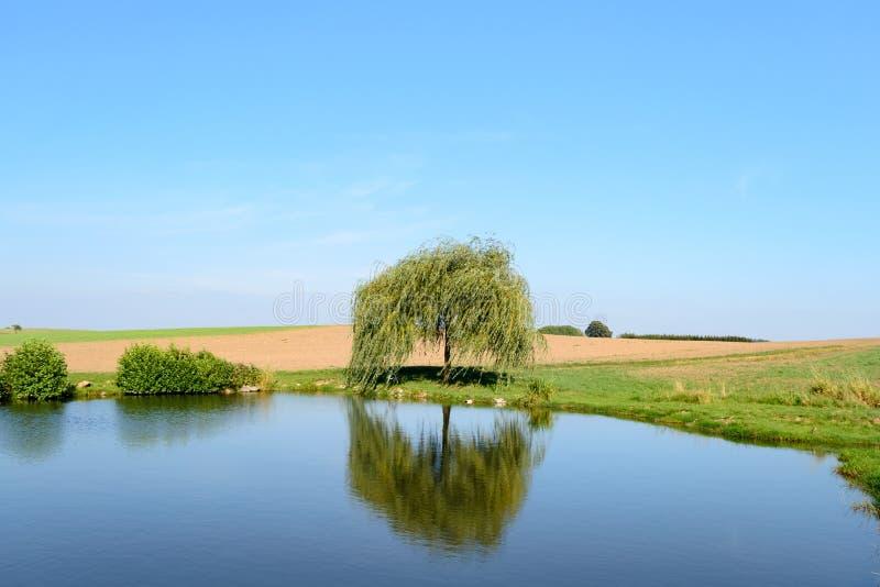 Única árvore de salgueiro chorando pequena perto da lagoa fotos de stock