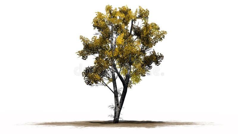 Única árvore de vidoeiro branco no outono fotos de stock royalty free