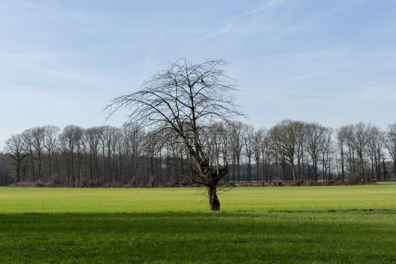 Única árvore desencapada no prado verde mais distante imagem de stock royalty free