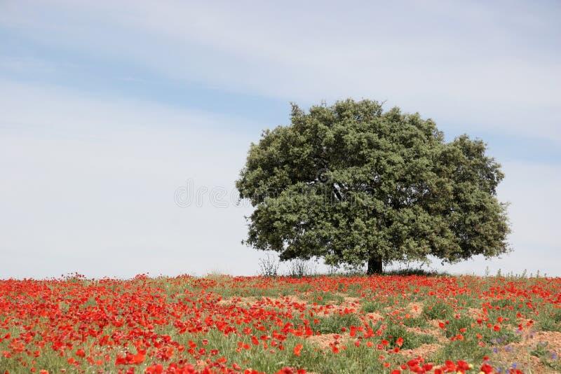 Única árvore grande imagens de stock royalty free