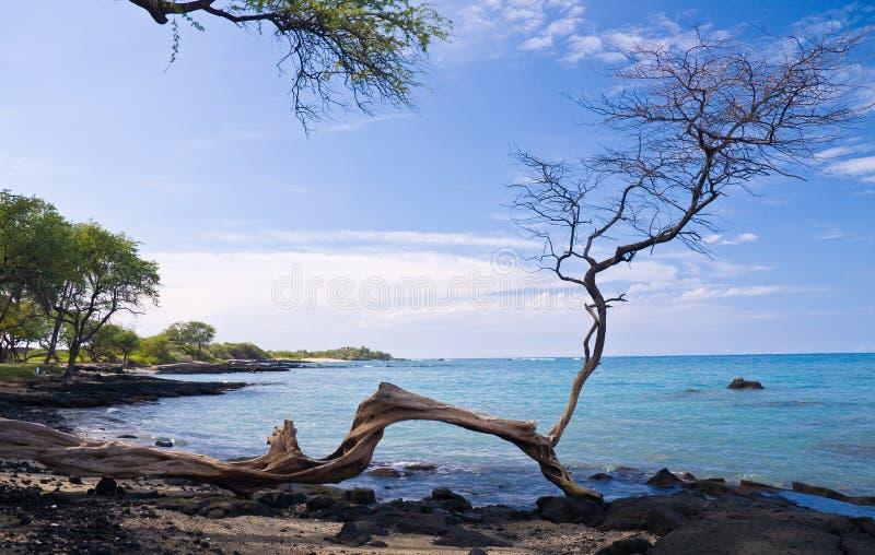 Única árvore na praia havaiana fotografia de stock royalty free
