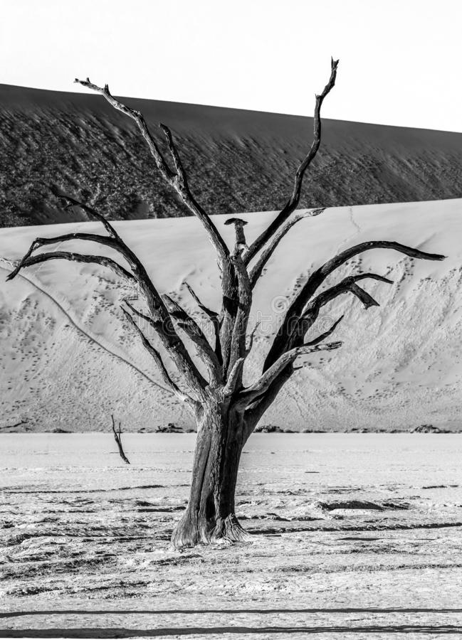 Única árvore no fundo de uma duna bonita Fotografia preto e branco África Paisagens de Namíbia Sossusvlei foto de stock royalty free