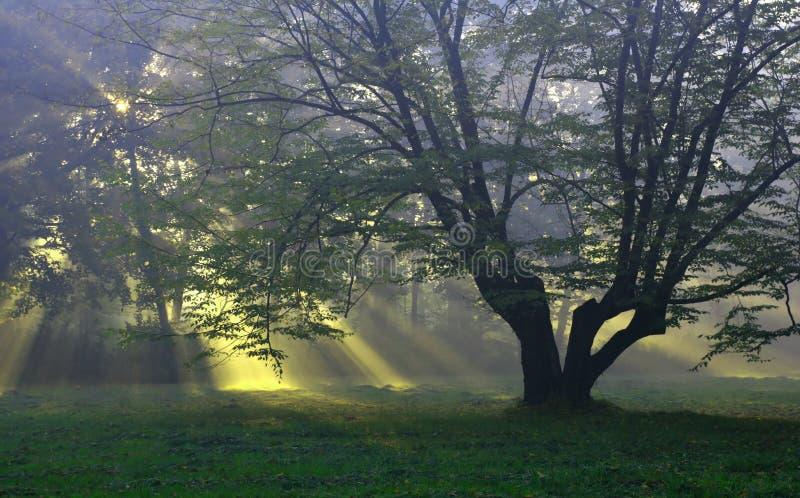 Única árvore no glade foto de stock