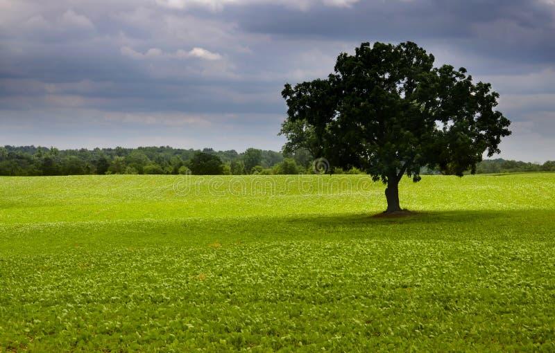 Única árvore no meio dos campos foto de stock