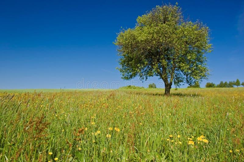 Única árvore no prado imagens de stock royalty free
