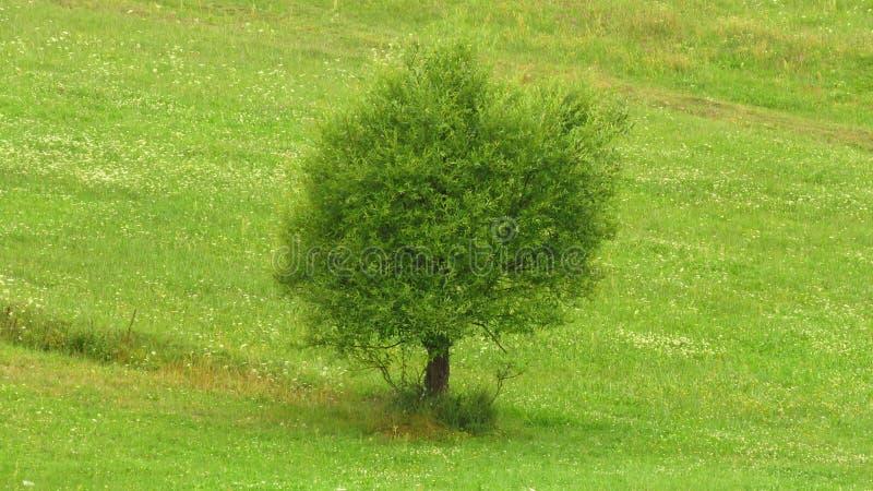 Única árvore no prado do monte Prados da montanha, grama verde, única árvore, flores brancas foto de stock