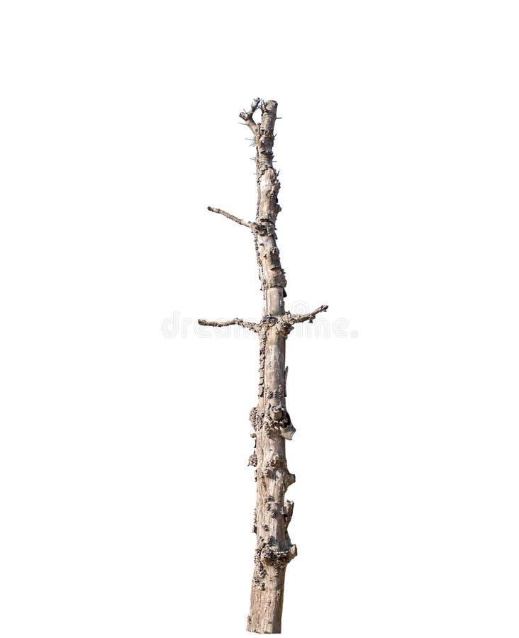 Única árvore velha e inoperante isolada fotografia de stock royalty free