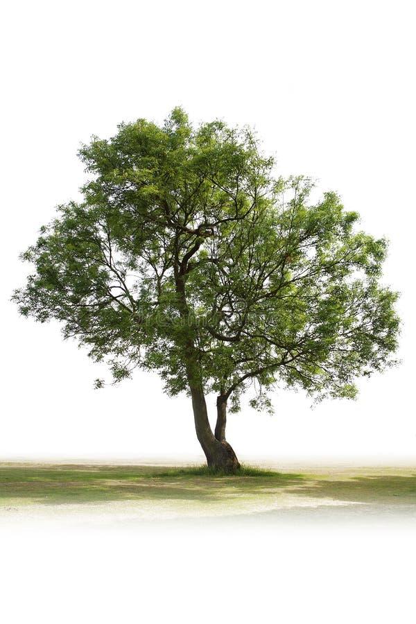Única árvore verde fotos de stock