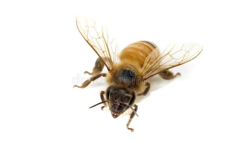 Única abelha isolada no branco imagem de stock