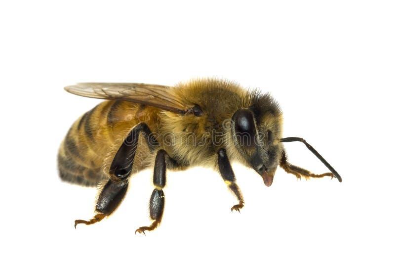 Única abelha isolada no branco foto de stock