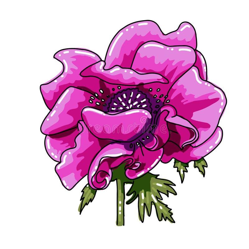 Única anêmona colorida tirada da mão grande Flor magenta cor-de-rosa com linha preta trajeto, close-up, no fundo branco vetor bot ilustração do vetor