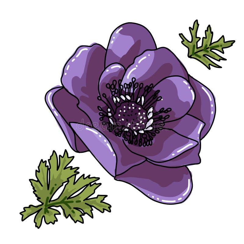 Única anêmona colorida tirada da mão grande Flor violeta com linha preta trajeto, close-up, em um fundo branco vetor bot?nico ilustração do vetor