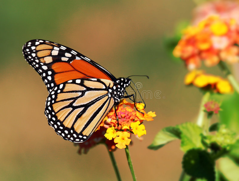 Única borboleta de monarca imagem de stock royalty free